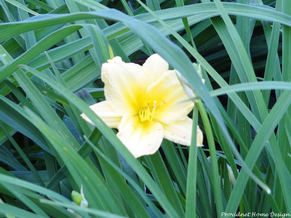 yellow lily